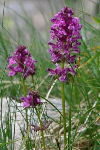 Orchidej (nebo jsem nedával pozor a je to pouze hluchavkovitá rostlinka).