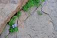Kdejakou škvíru či puklinu ve skále obsadí nějaký botanický skvost.