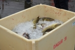 Právě přivezené ryby