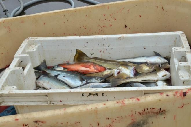 Právě přivezené ryby, hlavně tresky