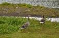 Po dřevěných chodnících se procházejí také husy a zanechávají na nich své více či méně libé stopy, aby daly najevo svou nespokojenost s těmito lidskými výtvory.