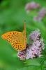 Perleťovec stříbropásek je až 8 cm velký motýl a často ho najdeme na lesních pasekách.