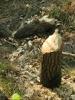 Bobr pracuje nedaleko Zahájského rybníku. Jeho tažení kraji v pohraničí je důsledné a rychlé.