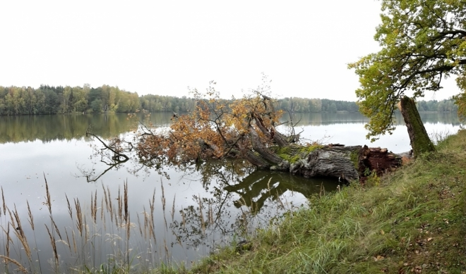 Z mnoha stoletých dubů již zbývají jen torza.