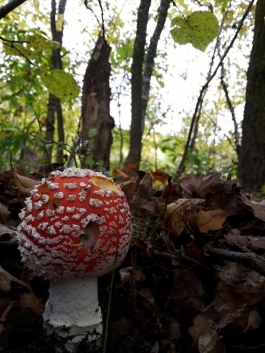 Muchomůrka červená je ozdobou podzimních lesů.