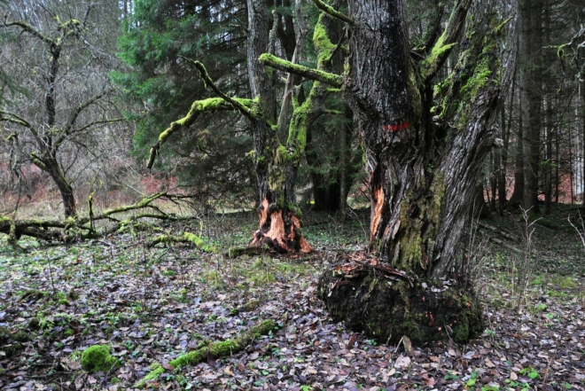 Ohlodané stromy u říčky.