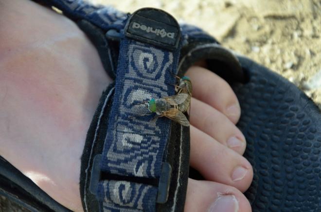 Zatímco se Tomáš kochá, na jeho sandálu probíhá páření zelenookých much. Není snadné se jich zbavit.