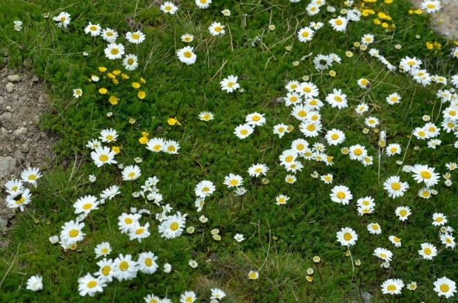 Geghamám se nevyrovná, ale i tak je Aragats na květiny docela bohatý.