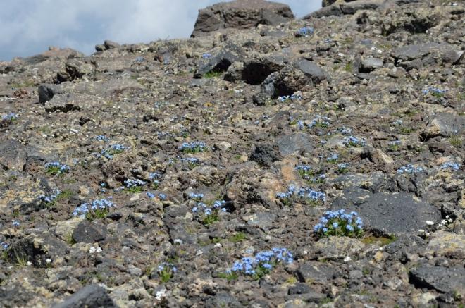 Modré pomněnky na tmavých horninách jsou kouzelné.