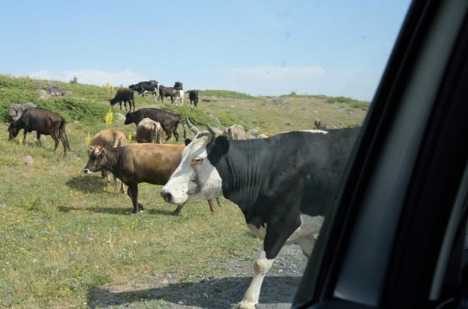 Ve čtyři už sedíme v autě a sjíždíme dolů. Potkáváme pastevce a jejich dobytek.