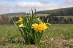 Kde žili kdysi lidé, dnes pouze narcisy kvetou.