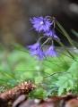 Dřípatka je krásnou a křehkou jarní květinkou, která zdobí vyšší polohy Šumavy.