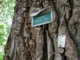 Vetšina mohutných dubů má několik set let.