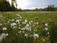 Suchopýr vyhledává mokřadní lokality a horské slatě. Z 25 známých druhů u nás rostou 4.