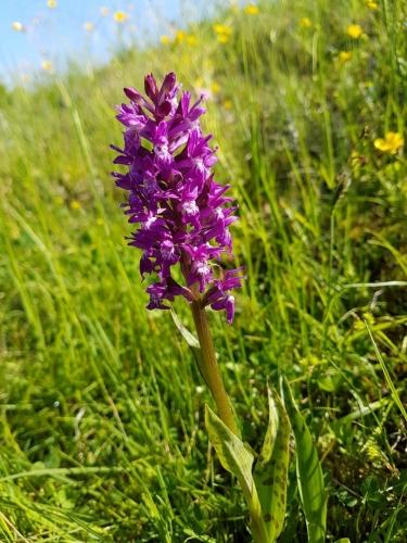 Prstnatec májový je chráněná orchidej, která si našla místo v podmáčené louce u rybníčka...