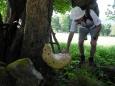 Choroš šupinatý dorůstá až 60 cm. Tohle je rekordní kousek.