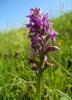 Prstnatec májový je vzácná a krásná orchidej.