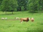 Býk si nás měří přísným pohledem.