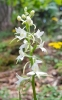 Orchidej vemeník dvoulistý vyhledává stinná místa na okrajích lesů.