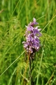 Orchidej zpříjemní pohledy do zeleně zdejších luk jen zřídkakdy.