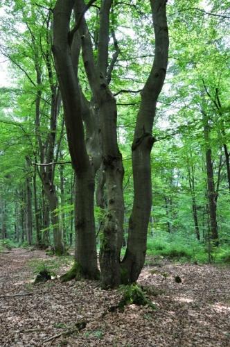 Na Šeřín (1 027 m n. m.) stoupáme starým bukovým lesem...