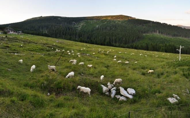 Ovečky u Brádlerových boud jsou další milou připomínkou, že jsme v horách.
