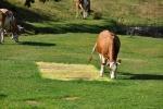 Někteří koně jsou vycvičeni k tvoření geometrických obrazců. Umí i kruhy v obilí...