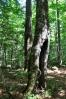 Bučiny mají horský pralesní charakter.