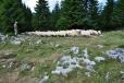 Mladý bača vyhání stádo na travnaté hřebeny hor.