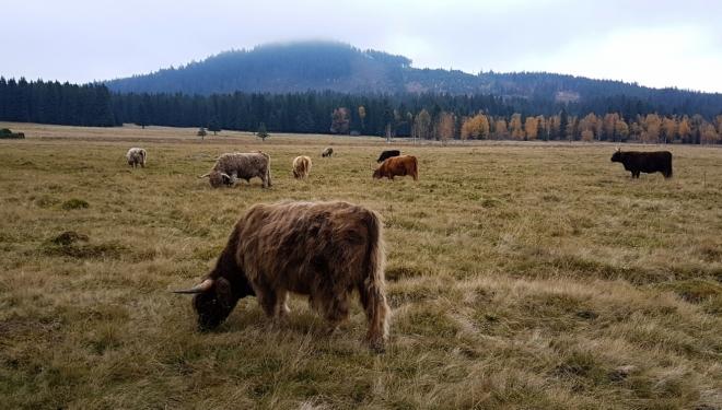Skotský horský skot na Horské Kvildě. V pozadi Sokol.