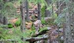 Vlci jsou přihlížejícím vzdáleni...