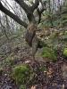 Pomlázkový strom.Zvláštností hory je nalez druhu jeřábu, nazvaný Milský, který pravděpodobně roste pouze na vrchu Milá. Vyskytuje se na strmých těžko přístupných čedičových skálách, v lesnatých roklích a sutích.