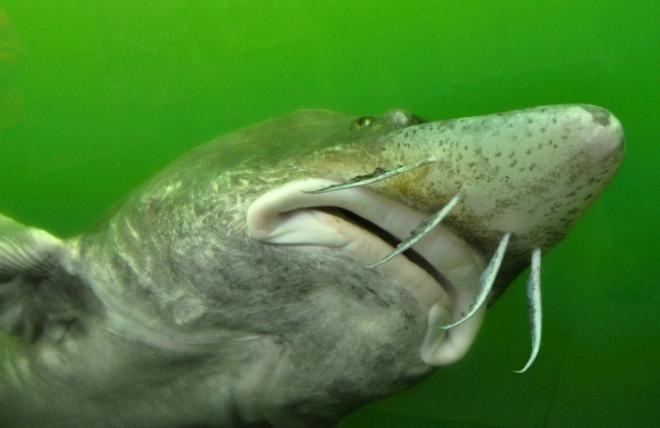 Vyza velká (rusky běluga) je považována za největší sladkovodní rybu, což je zavádějící, protože není čistě sladkovodní rybou. Značnou část života tráví v brakických vodách a v jeho průběhu střídá sladkovodní a mořské prostředí. Proniká hluboko do řek, před postavením přehrady Železná vrata pronikala Dunajem až do jeho rakouské části. Je to druh anadromní ryby z čeledi jeseterovitých, řádu jeseterů. Vyzy rostou velmi pomalu a dožívají se až 120 let. Mohou přitom dosáhnout délky až téměř 8,5 metru a hmotnosti 1000 kg, nejtěžší jedinec měl 1571 kg. (dle Wikipedie)