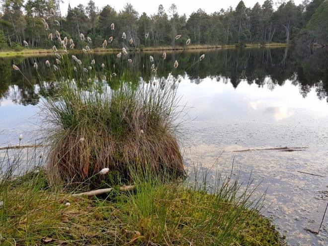 Trsy suchopýru krášlí okolí jezera.