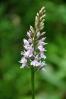 Orchidej - snad prstnatec pleťový.