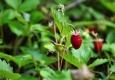 Rudé lesní jahody jsou vítečné.