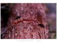 Jen málokdy se poštěstí vyfotit něco podobného jako hmyzí kamasutru. Ale nestálo by to za nic, kdyby oba protagonisté nebyly natolik zaujati svojí činností, že jim nevadilo přenést své bohulibé konání na přistavený borový kmínek.