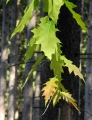 Jeden z mnoha druhů dubů, které míjíme. Převahu mezi stromy ovšem mají smrky.