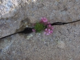 Alpská kytička ve skalní škvíře.