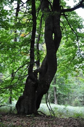 Mezi Velestúrem a Zlatou Studňou vede stará upravená stezka bučinou...