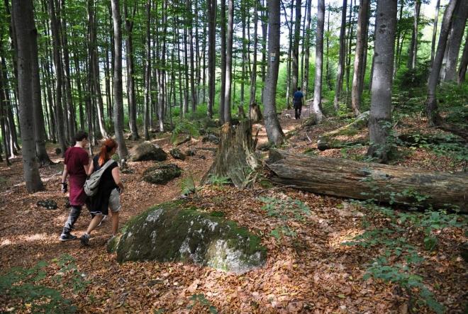 Jdeme zmlazenou bučinou. To je výhoda Bavorského NP proti NP Šumava, sevřeného především smrkovými porosty.