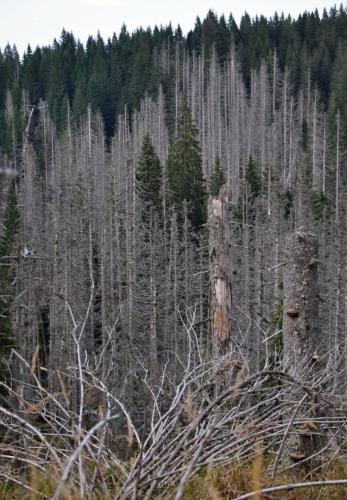 Další stovky a tisíce smrků podlehly řádění škůdců Šumavy.