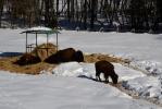 Odpoledne se bizoni vyhřívají a lenoší...