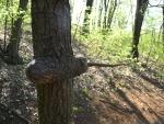 Stromy zcela pohltil ocelové lano.