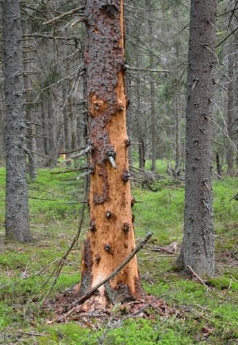 Šumavské pralesy v nejcennějších oblastech hraničních hřebenů již kůrovec zcela zničil a na tato místa se horské smrčiny navrací jen velmi zvolna, další místa tato zkáza teprve čeká.