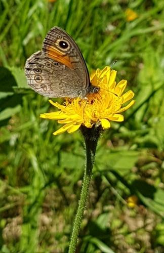 Okáč horský je častým návštěvníkem lučních květů Krkonoš.