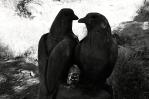 Zamilované duo holubí.