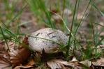 Jedinými houbami v lesích jsou masáci a holubinky trávozelené.