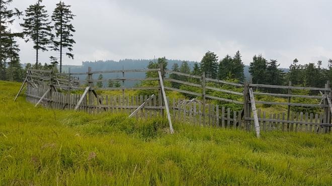 Vrchol Jedlové je bezlesí. Jako většina vrcholů Šumavy. Kůrovec spolu s experimentem NP Šumava přinesl své ovoce. Tedy spíš šišky, které nemocný les hustě plodí před svojí zkázou.