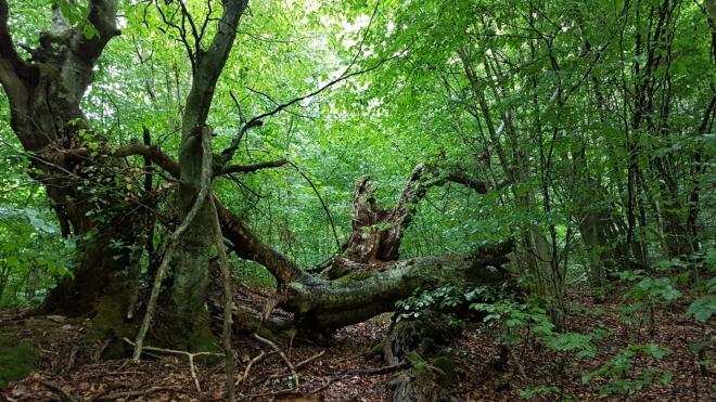 Údolí Brestového potoka skrývá úžasné prastaré stromy...